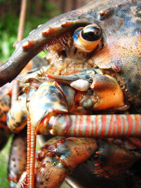 jumbo-lobster20120506_0004