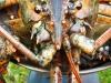 jumbo-lobster20120506_0002